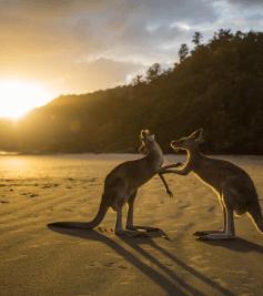 kangouroo